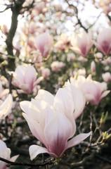 Magnolia Blüten, close-up