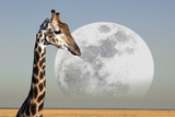 Moon rising over a Giraffe in Etosha National Park in Namibia