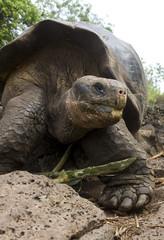 Giant Galapagos Tortoise - Galapagos Islands - Ecuador