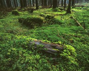 Moos in Fichtenwald, Bayern, Deutschland