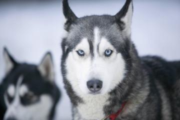 Zwei Sibirische Huskies im Schnee
