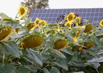 Solar-Panel vor Sonnenblumen