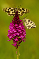 Zwei Schmetterlinge sitzen auf Orchidee