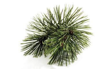 Nadeln der Kiefer (Pinus)