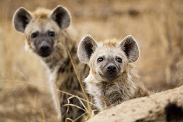 Südafrika, Krüger Nationalpark, Hyänen, Spotted Hyanas