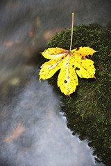 Ahorn im Herbst, close-up,