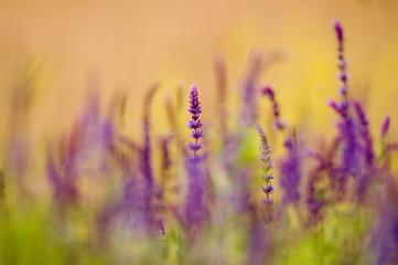 Wilder Salbei, Salvia nemorosa