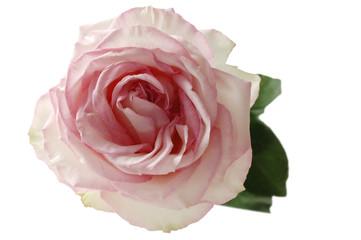 Pink rose (Rosa) Rose