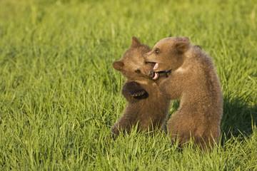 Junge europäische Braunbären spielen ((Ursus arctos)