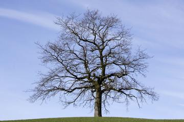 Deutschland, Oberbayern, Eiche (Quercus)