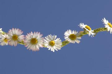 Daisy Chain (Bellis perennis)