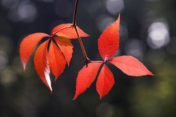 Herbst, Virginia creeper