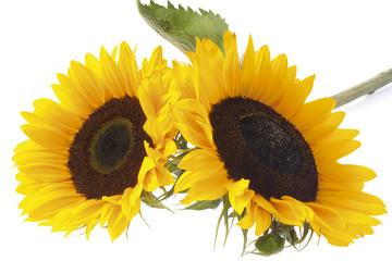 Zwei Sonnenblumen (Helianthus annuus)