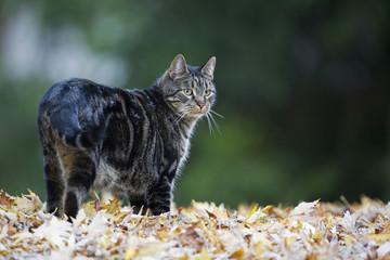 Katze auf Herbstblättern