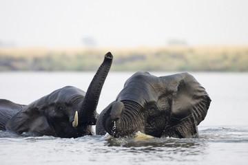 Afrika, Botswana, Chobe National Park, Elefanten im Wasser