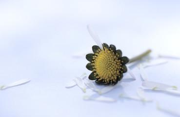 Gerupft Blütenblätter eines Gänseblümchens