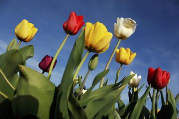 Tulpen (Tulipa) Blüte blühen