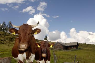 Österreich, Vieh auf der Alm