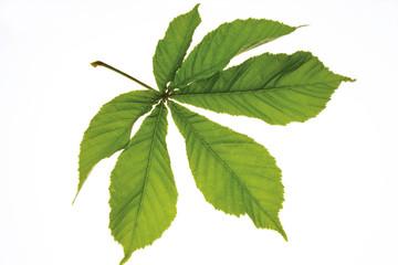 Chestnut Blatt (Aesculus hippocastanum)