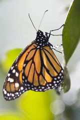 Monarchfalter (Danaus plexippus) auf Blatt