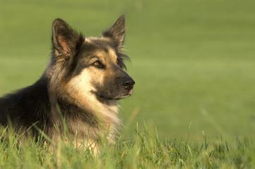 Deutscher Schäferhund, Elsass