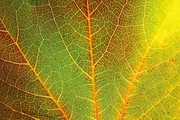 Herbstliche Blätter von wildem Wein