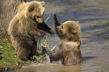 Europäischer Braunbär (Ursus arctos)