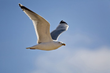 Deutschland, Helgoland, Heringsmöwe fliegt