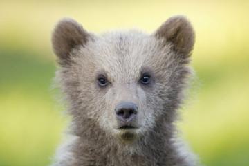 Junger europäischer Braunbär (Ursus arctos)