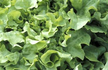 Grüner Salat, Vollbild
