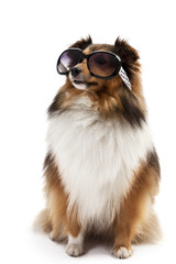 Shetland sheepdog wearing sunglasses