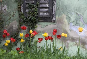 Tulpen vor alt Haus