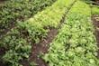 insalata lattuga verdure coltivazioni