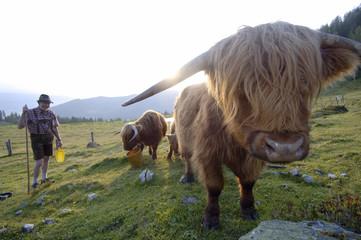 Österreich, Salzburg Land, Landwirt mit Hochlandrindern