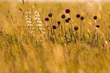 Filene viscar, Carduus nutans, Sommerblumen im Feld