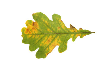 Eiche, Blätter