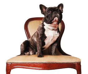 Französisch Bulldogge sitzt auf Stuhl