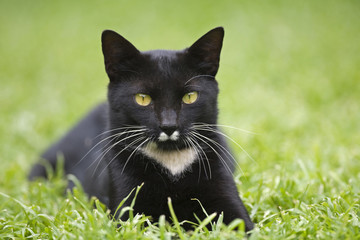 Schwarze Katze in einer Wiese