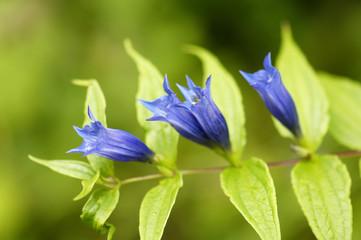 Enzian, Gentiana asclepiadea