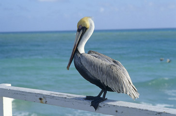 Florida, Pier in Miami Beach, Pelican