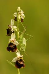 Grasshüpfer sitzt auf Orchidee