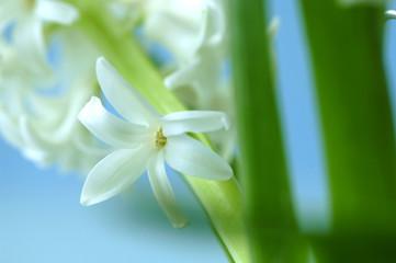 Hyacinthe, Blume