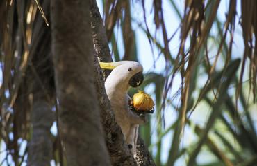 Western Australia, Kakadubeim Obst essen, Cacatua Galerita