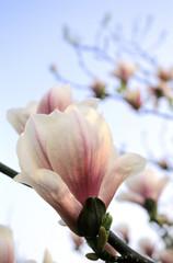 Magnolia Blüten