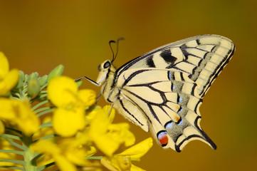 Schwalbenschwanz-Schmetterling sitzt auf Blume