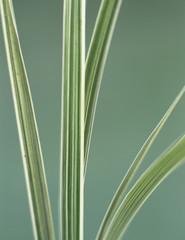 Segge Gras Blätter