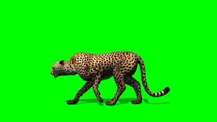 Cheetah walks -  on green screen