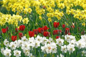 Narzissen (Narziss-Hybride) und rote Tulpen (Tulipa)