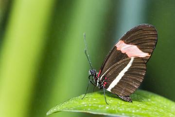 Postman Schmetterling (Heliconius Erato), auf Blatt