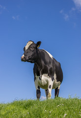 Black and white Dutch cow in a meadow